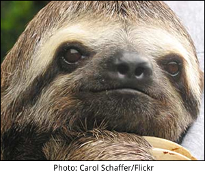 When can a sloth move really fast?