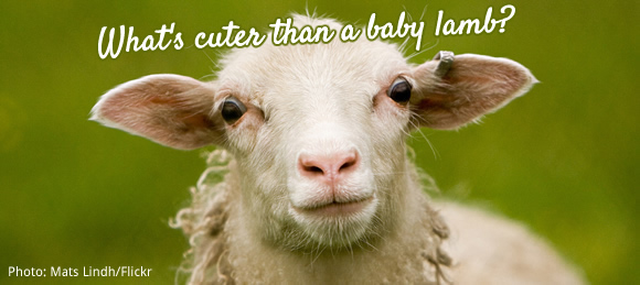 What's cuter than a baby lamb?