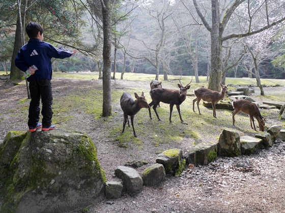 Roy trains wild deer at Miyajima.