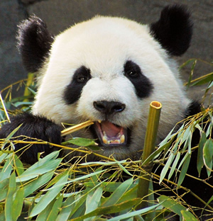 Panda munching bamboo.