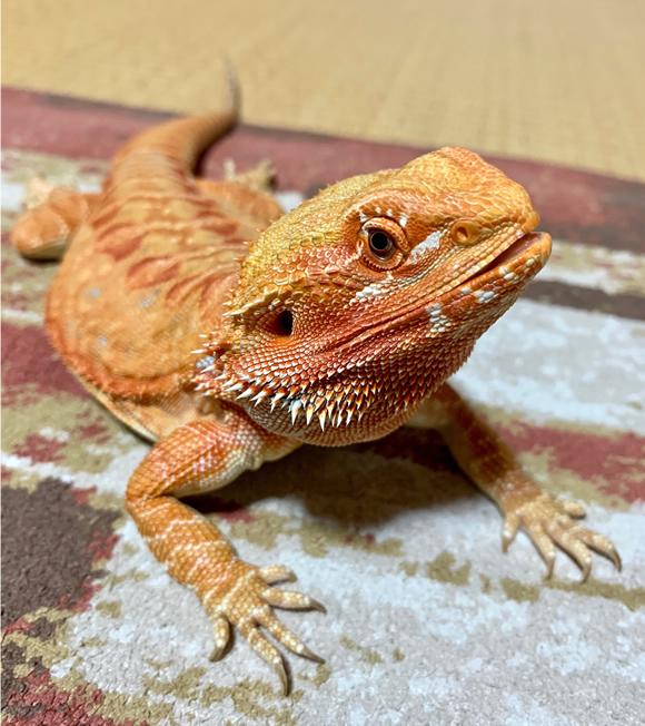 Fifa, our bearded dragon